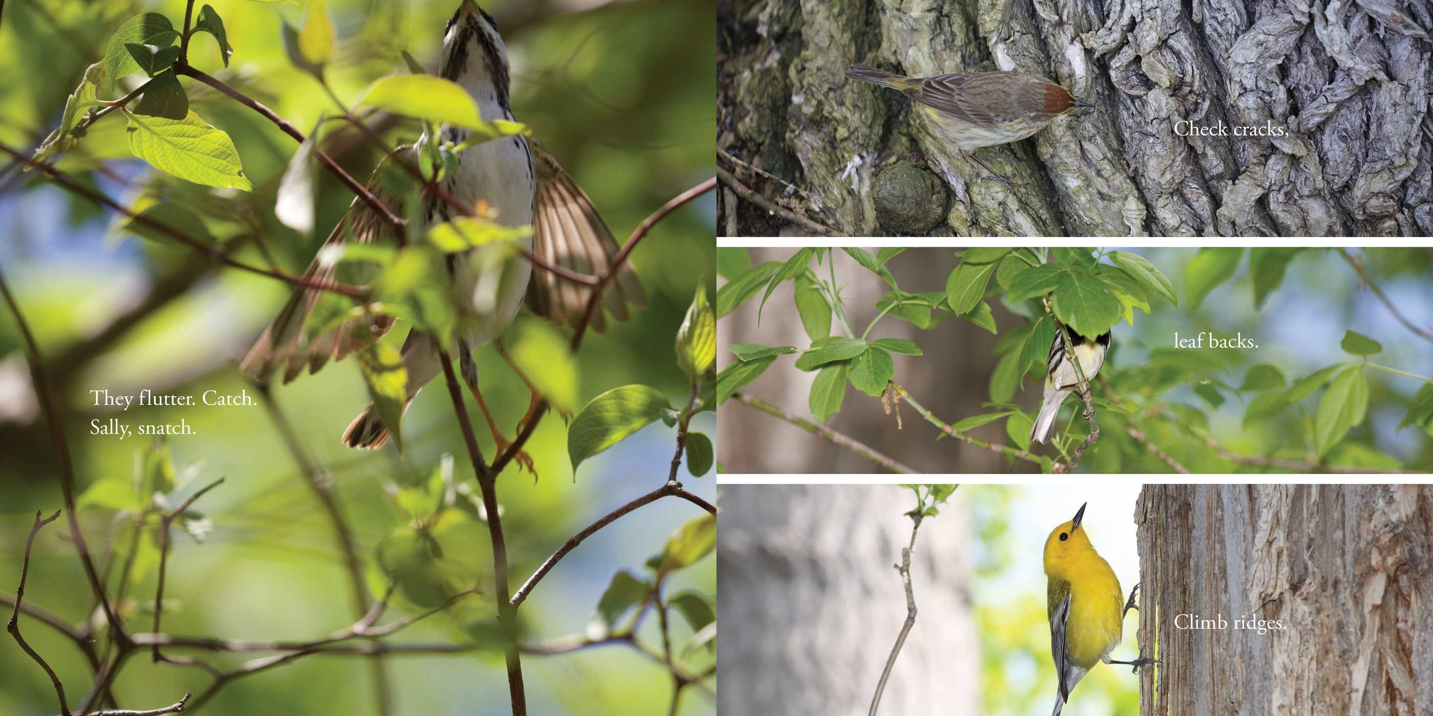 celebrate-picture-books-picture-book-review-warbler-wave-searching-trees