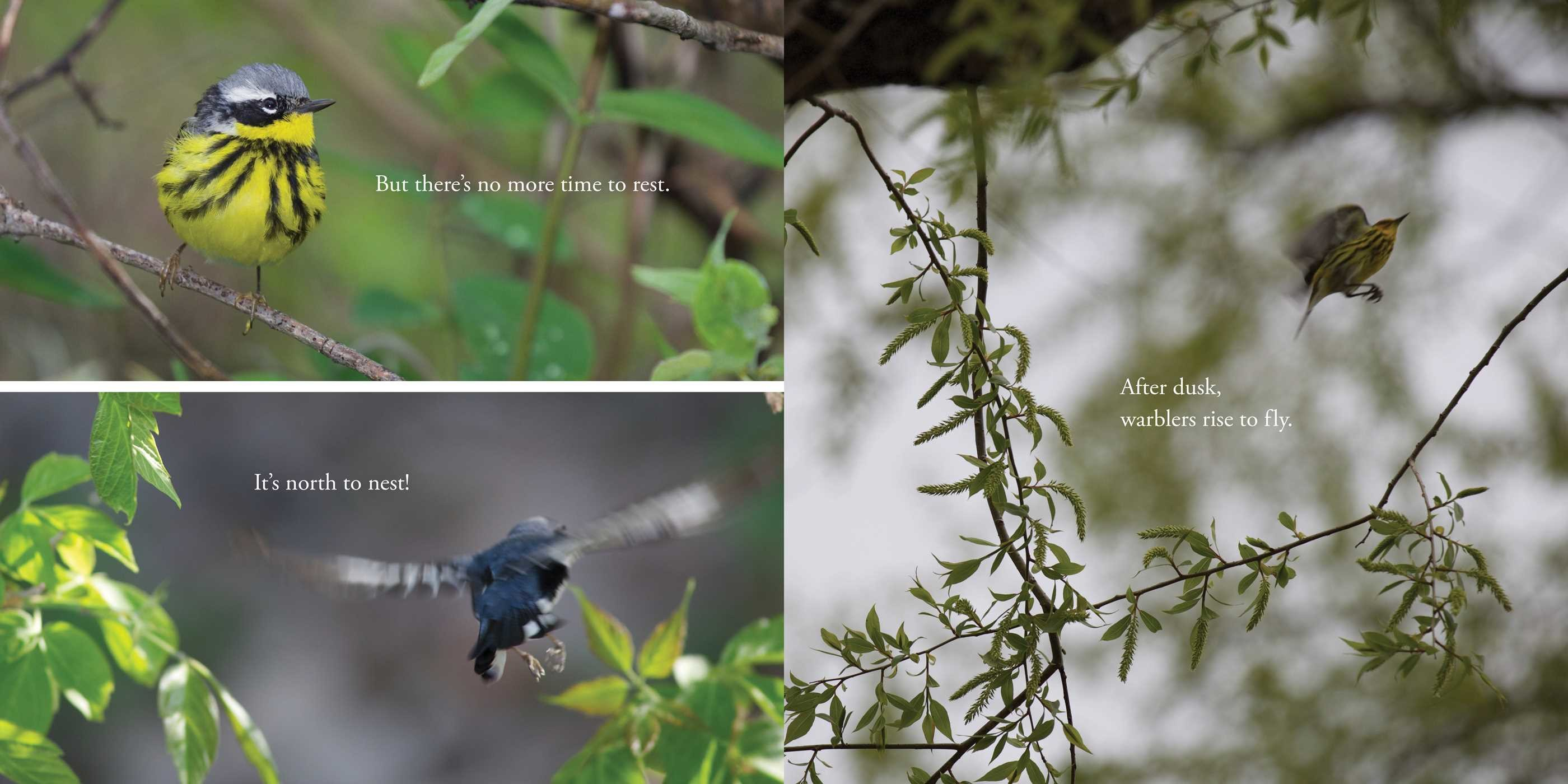 celebrate-picture-books-picture-book-review-warbler-wave-taking-off-again