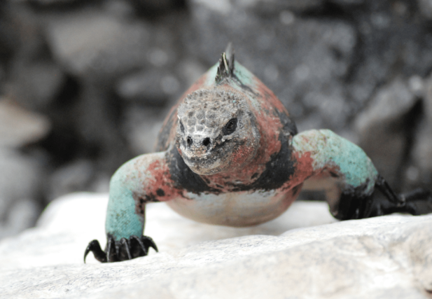 celebrate-picture-books-picture-book-review-galapagos-girl-marine-iguana