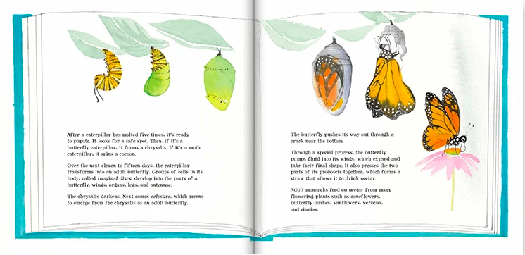 celebrate-picture-books-picture-book-review-butterflies-belong-here-chrysalis