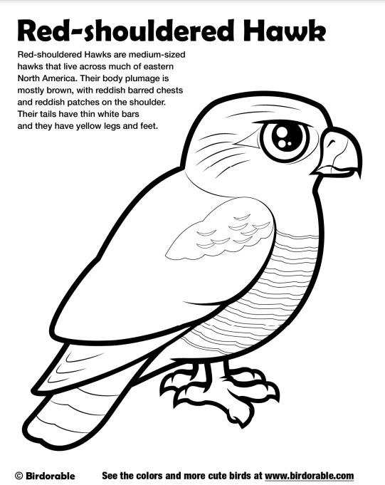celebrate-picture-books-picture-book-review-red-shouldered-hawk-coloring-page